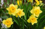 Yellow daffodils representing March's birth flower.
