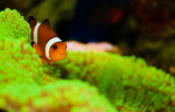 Clown fish hiding in the coral.