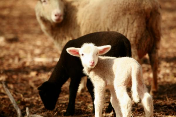 Newborn lambs are important symbols of Easter Monday.