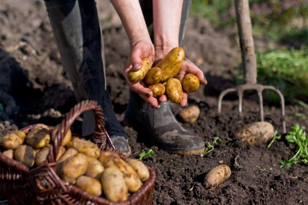 Freshly dug potatoes at a farm.