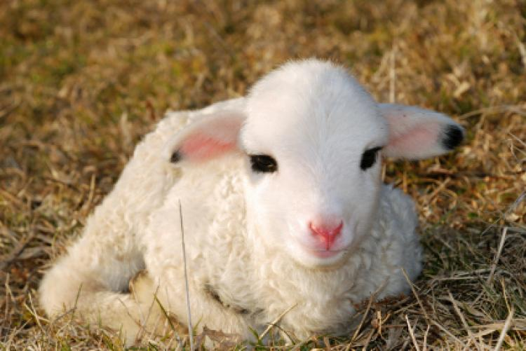 A very young lamb