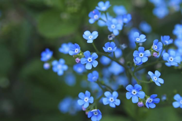 bouquet of forget-me-not flowers. Remember those you have lost and ...
