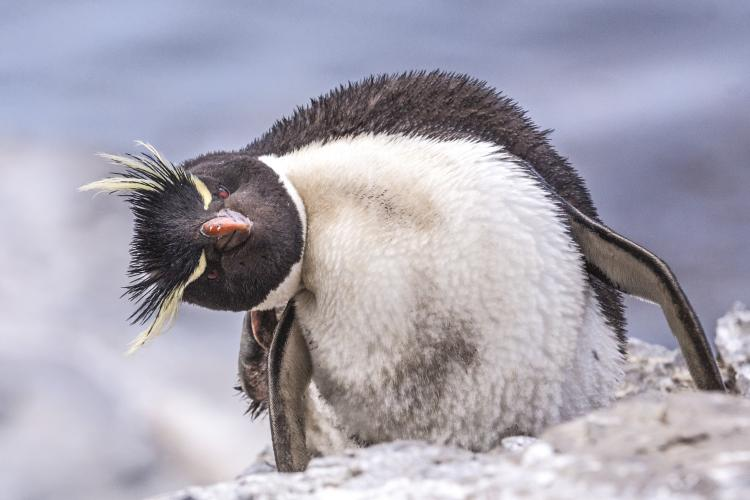 A Rockhopper penguin on a rock tilting its head.