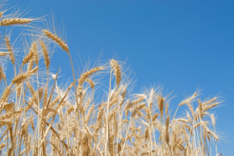 Field of wheat with blue sky in the background