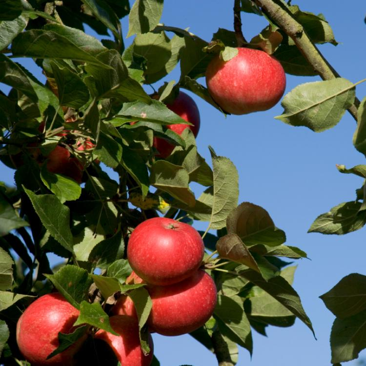 Bright red apples ripening on the tree