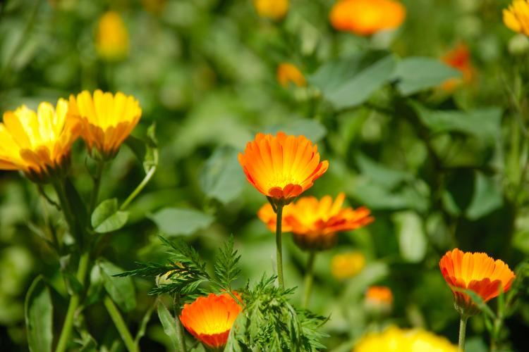 Orange calendula, the birth flower of October.