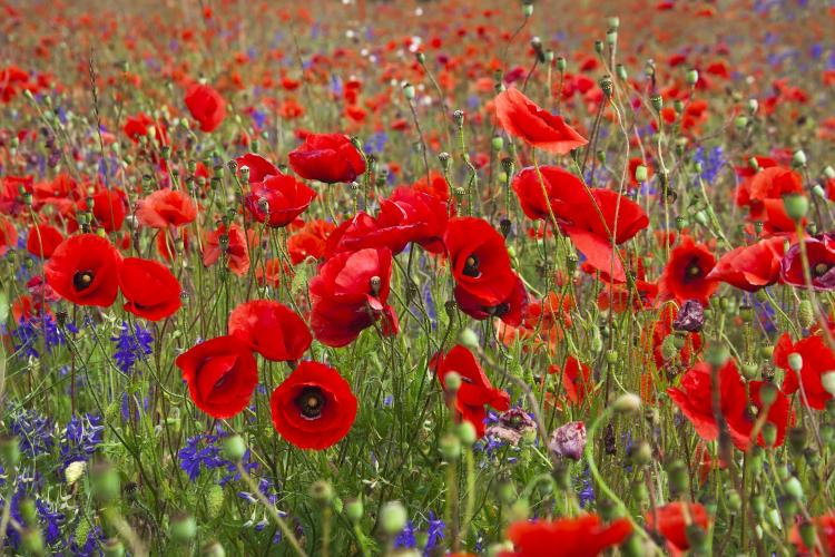 Field of bright red poppy flowers in summer day.