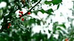 Desembers birth flower, holly bush with red berries covered in snow.
