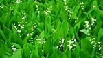 A patch of Lily-of-the-valley, May's birth flower.