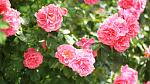 Pink roses on green bush, June's birth flower.