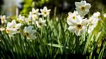 Daffodils growing in a flowerbed.