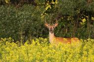 White-tailed deer buck near a canola field.