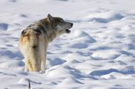 Howling lone gray wolf in snow covered landscape.