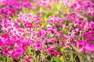 Pink wild ground phlox are a native flower to North America.