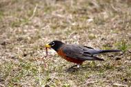 A spring robin pulling out a worm.