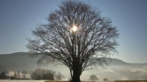 The Sun shining through a naked tree in winter.