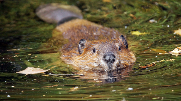 A swimming beaver.