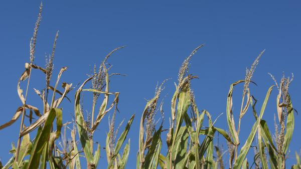 A field of corn ready for harvest under a clear, blue sky in early September.