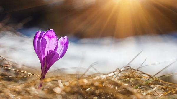 A crocus in the spring Sun.