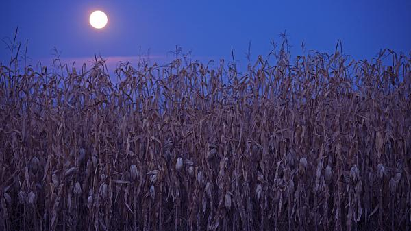 A Full Moon shines over a field of corn ready to be harvested. Dark blue night sky in the background.