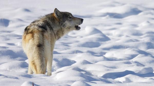 A howling lone gray wolf in snow-covered landscape.