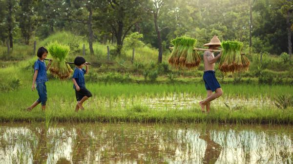 Two children walking behind their father on the rice fields with bales of hay on their shoulder.