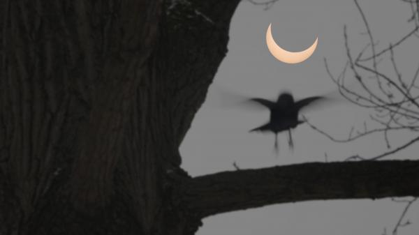 Bird settling on a branch during an eclipse.