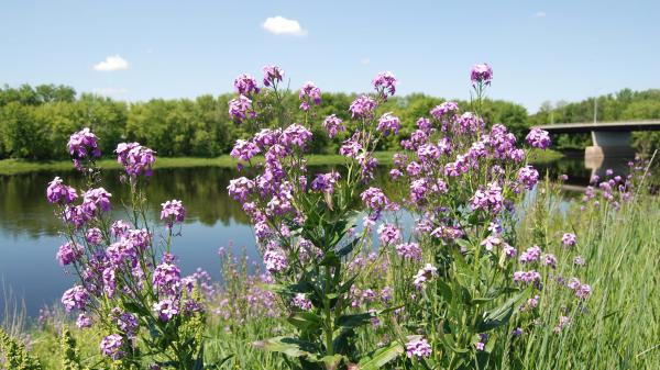 Phlox flowers by the river.
