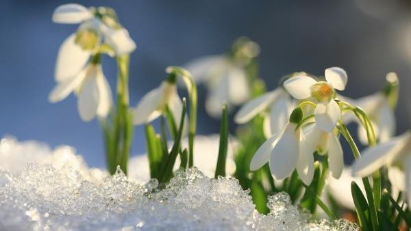 Snowdrops growing up trough the snow.