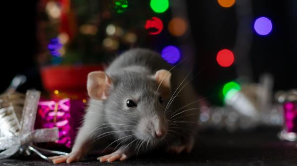 A grey rat pictured among colourful lights and gifts symbolizing that 2020 is the Year of the Rat in the Chinese zodiac.