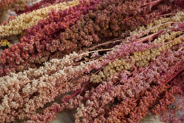 2013 – UN Year of Quinoa