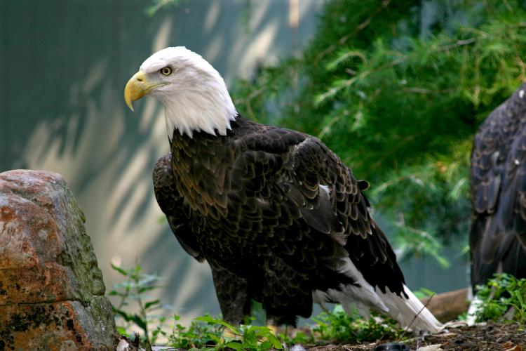 The American Bald Eagle is a national symbol in the United States.