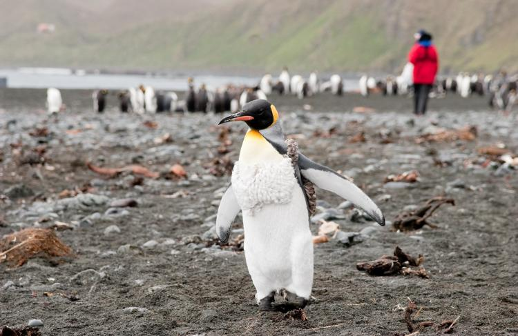 King penguin, Macquarie Island.