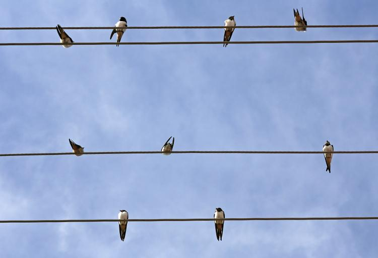 Swallows on a wire.