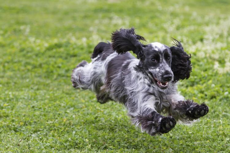 Cocker Spaniel running in a meadow.