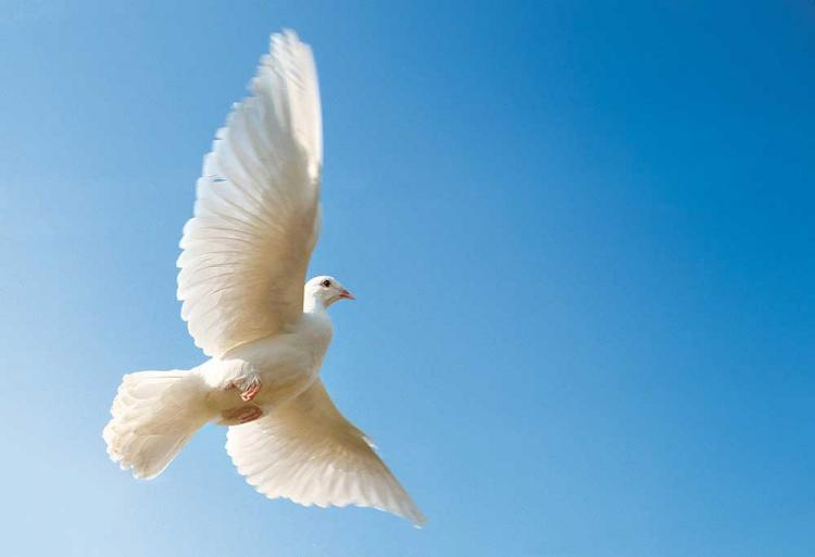 A white dove flying towards a blue sky.