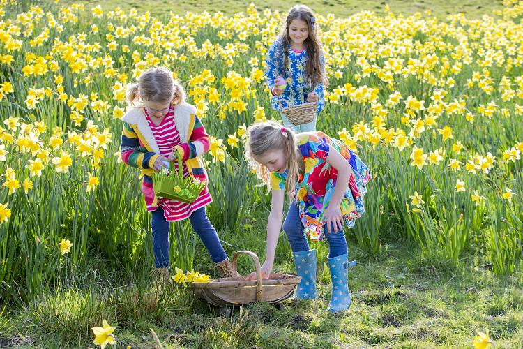Three young girls hunting on an Easter egg hunt in a field of daffodils.