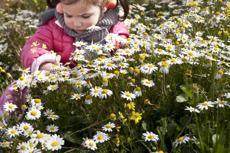 Toddler girl in a field of daisies.