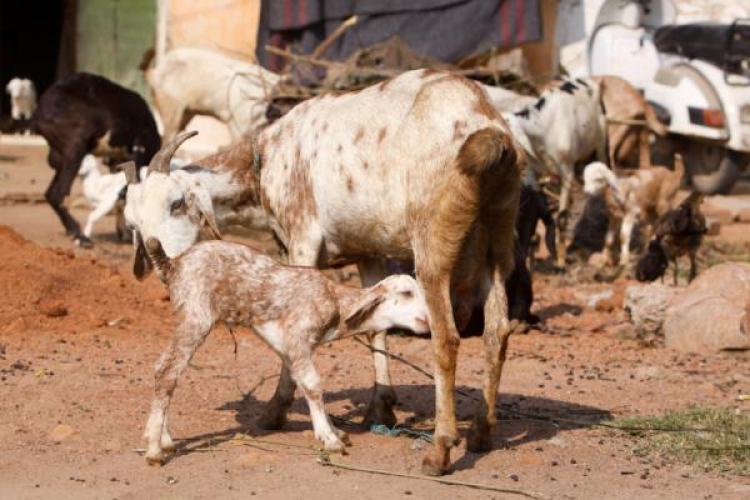 Amazing Bakra Eid Al-Fitr Food - goat_india  You Should Have_14917 .jpg?1