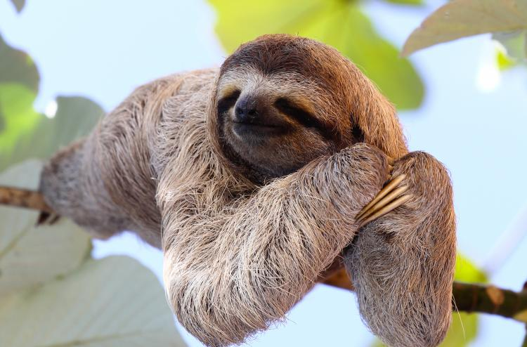 Baby sloth on a tree.