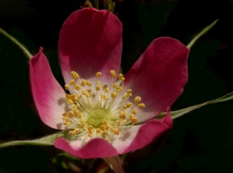 Dog rose flower macro