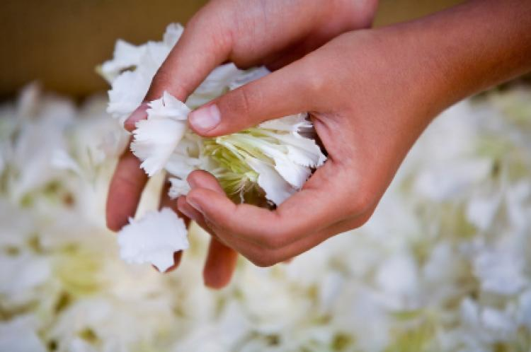 Female holding carnation petals, Selective focus on hands.
