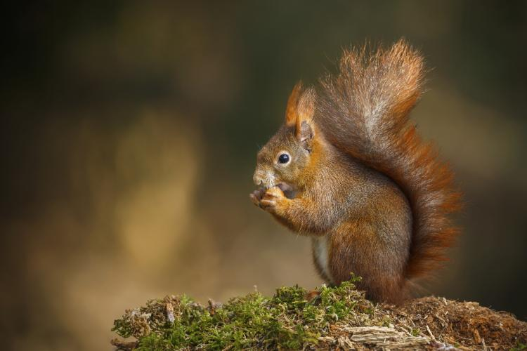 Red squirrel in the forest.