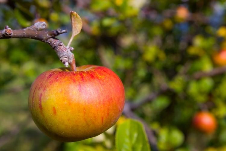 Fresh Red Apple on Tree in Huon Valley, Tasmania, Australia