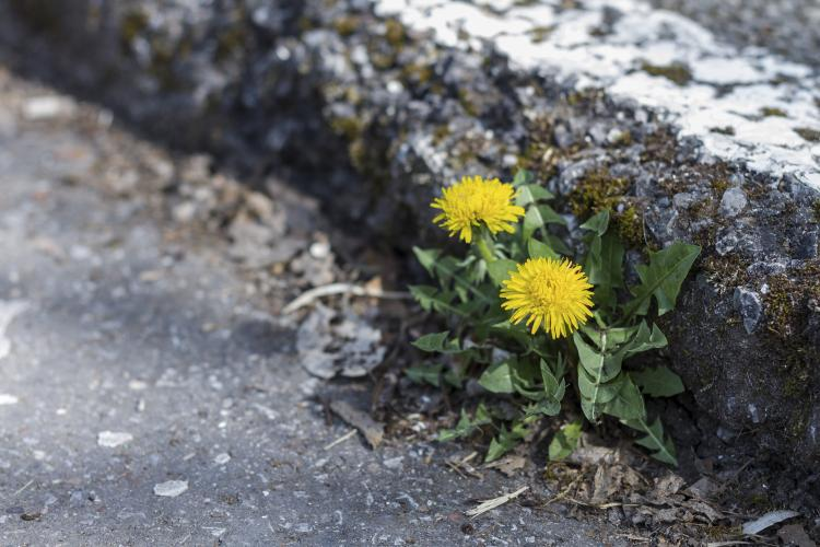 Dandelion growing on a curb.