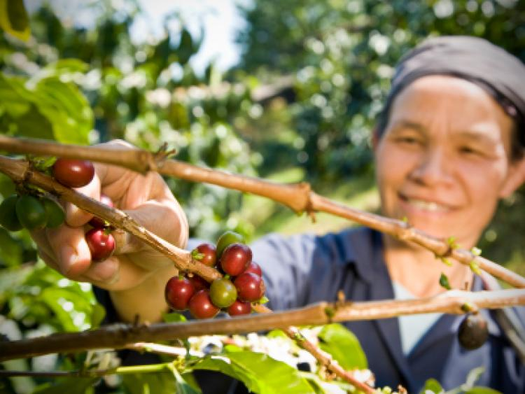 A fair trade coffee farmer picking organic coffee beans from the tree.