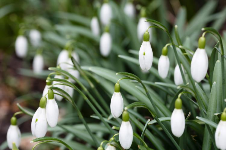 Closeup of closed snowdrops (galanthus) flowerheads in spring
