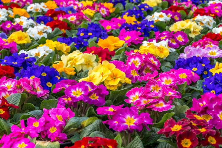 Central focus on a group of brightly colored Primroses.