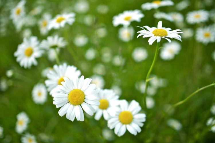 Closeup of mountain daisies, April's birth flower.
