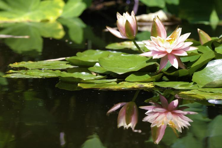 Water lilies with reflection in a pond.